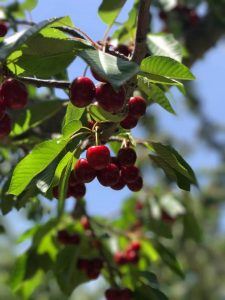 Cherries in High Rolls New Mexico